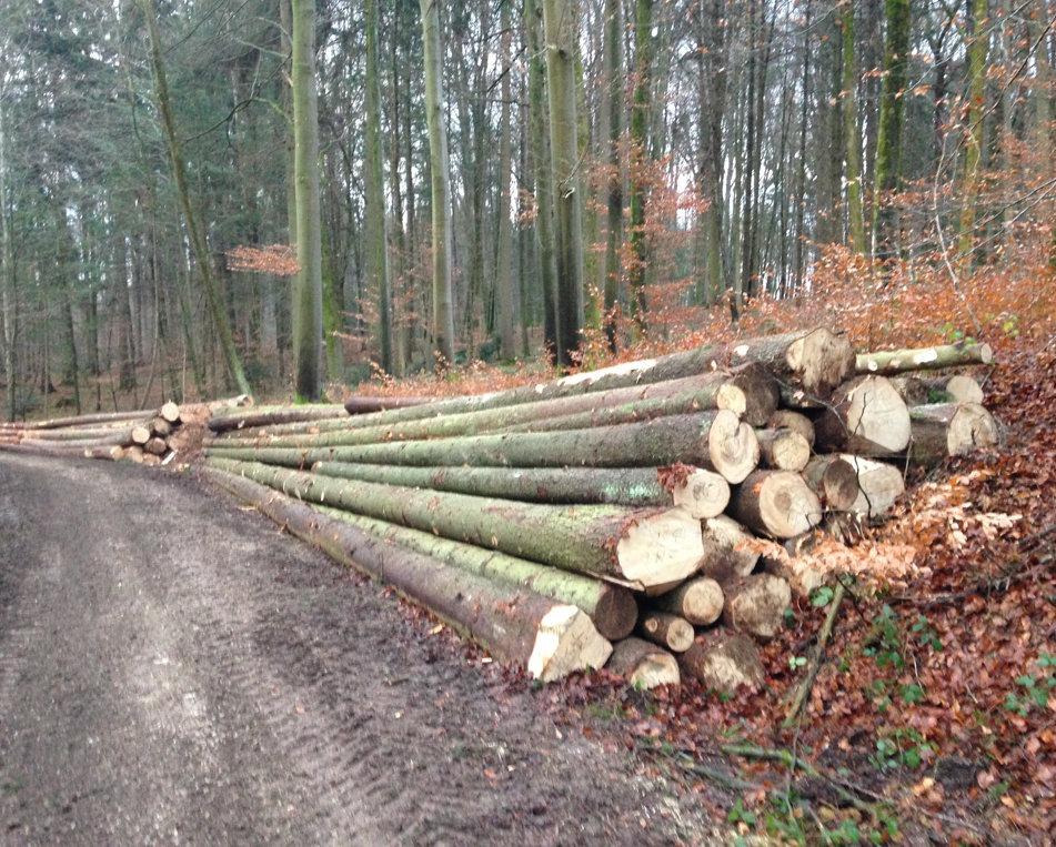 Stapel von gefällten großen (15m) Bäumen am Wegrand